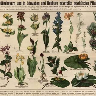 Pflanzenschutzplakat 1910, hg. vom Verein zum Schutz und zur Pflege der Alpenpflanzen. Copyright: Unibibliothek LMU München (W 8 Phytol. 1019)