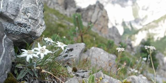 Edelweiß in den Lienzer Dolomiten, Foto: Jonas Kassner