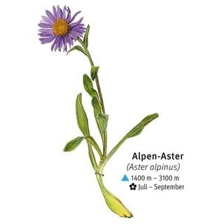 Alpen-Aster - Alpen-Aster / Illustration: DAV