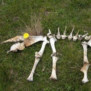 fast komplett, die Knochensammlung, Foto: Monika Glasl, Sektion Tölz