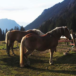 Pferde an der Willersalpe
