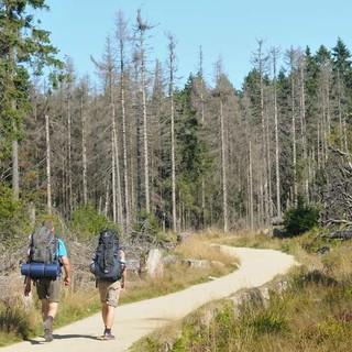 Wanderers Nutzen: Dichter Wald spendet Schatten, toter Wald Licht. Foto: Folkert Lenz