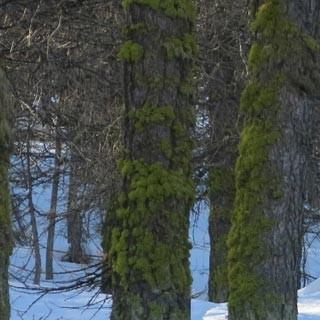 Abfahrt durch den Wald - Warum ist es im Wald so schön? Weil dort der Schnee oft pulvrig bleibt.