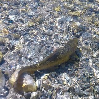 Forelle im Wasser, Foto: Landesfischereiverband Bayern