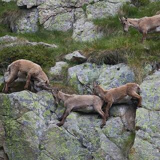 Spielplatz Europas: Die Steinböcke im Valmasque betrachten die Alpen mit Recht als ihr Revier. Foto: Stefan Neuhauser