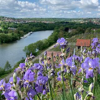 Schwertlilien, Rosen, Wiesensalbei – die Blumenränder der Weinberge sind nicht nur schön, sondern auch Indikatoren für etwaigen Schädlingsbefall. Foto: Joachim Chwasczca