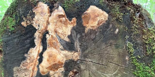 """Ungemein selten – der """"Duftende Feuerschwamm"""" gedeiht im Urwaldrest Mittelsteighütte bei Zwieslerwaldhaus. Foto: Joachim Chwaszcza"""
