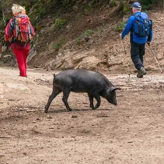 Wild lebende Schweine trifft man überall auf Korsika, besonders in den höheren Regionen wo Kastanien wachsen. Sie liefern die Grundlage für die berühmte Charcuterie, den korsischen Schinken und Wurstwaren.