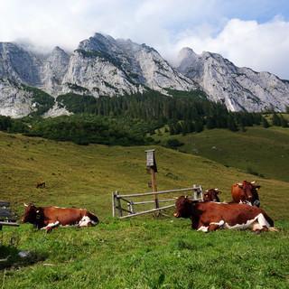 Almwirtschaft auf der Halsalm in den Berchtesgadener Alpen. Im Hintergrund die Felswände der Reiteralm (Foto: DAV/T. Hipp)