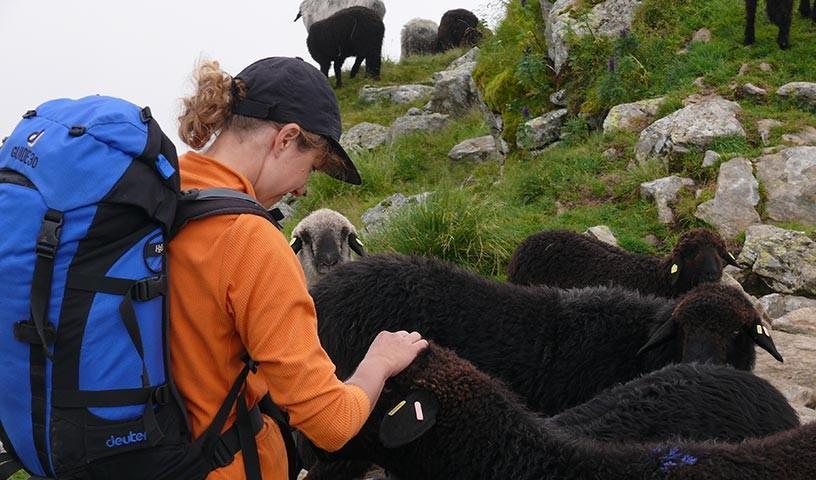 Schafherde in der Schobergruppe - Begegnungen mit wilden Tieren sind hier nicht ganz ausgeschlossen.
