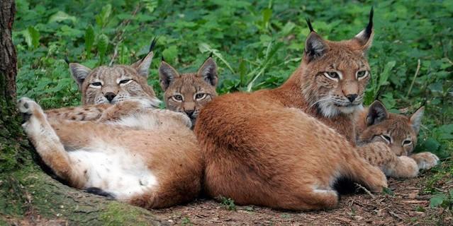 Luchsfamilie, Foto: BUND/W. Willner