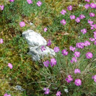 Pfingstnelke - Blütenpracht am Felskopf, Foto: H. Wiening