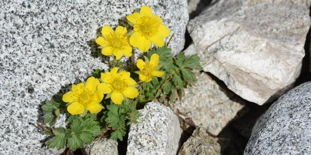 Auf dem Weg zum Hochgall - Lebenskraft: Mitten in der Schutt- und Steinwüste finden immer wieder bunte Alpenblumen ihre ökologische Nische.