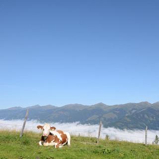 Pinzgau im Nebel - Pinzgauer Kamm und Kühe am Maiskogel in der Sonne