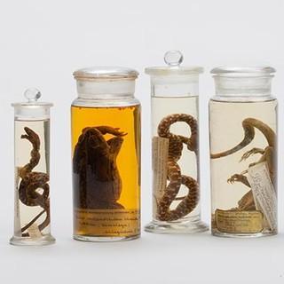 Amphibien und Reptilien aus dem Himalaya - Aus der Sammlung Schlagintweit.Zoologische Staatssammlung München