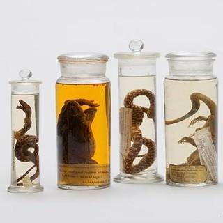 Amphibien und Reptilien aus dem Himalaya - Aus der Sammlung Schlagintweit.&nbsp&#x3B;Zoologische Staatssammlung München