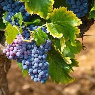 Die Römer brachten Wein und Esskastanien aus dem Süden mit in die Alpen. Foto: Marc Benedetti