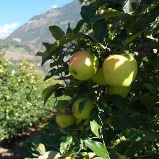 Kurz vor der Apfelernte im Vinschgau, Foto: Jonas Kassner