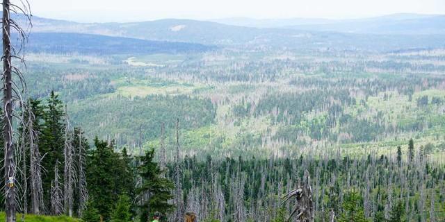 Beim Abstieg vom Rachel-Gipfel zur Rachelkapelle sprießt der nachwachsende Wald zwischen den abgestorbenen Fichten. Foto: Joachim Chwaszcza