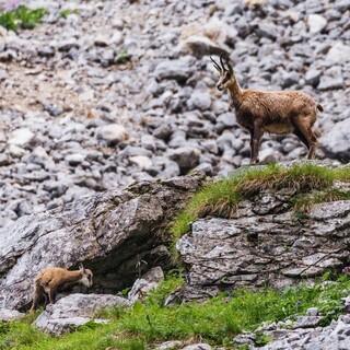 Die Natur live erleben und bewusst wahrnehmen: Wilde Gämse am Berg. Foto: DAV/Sebastian Müller-Wolfskeil