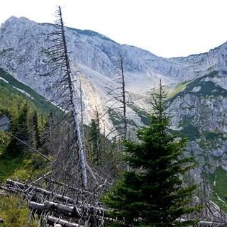 Hoher Nock - Im Abstieg durch die schroffe Nordwand des Hohen Nock passiert man abgestorbene Fichtenbestände. Foto: Georg Hohenester