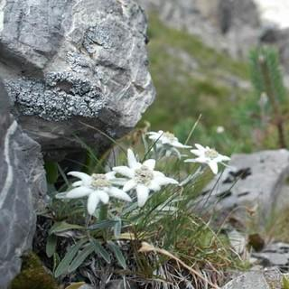edelweiss-lienzer-dolomiten