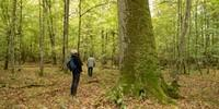 Neben den Wisenten ist Bialowieza vor allem für seinen kostbaren Baumbestand bekannt. Foto: Nadine Ormo