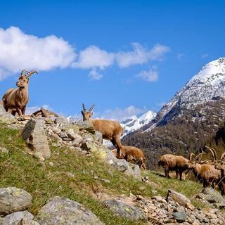 Steinböcke im Nationalpark Gran Paradiso, Foto: Daniele Codigoni/adobestock