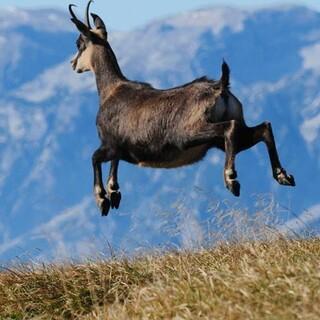 Gams mit Kitz - Gemsen sind Teil der alpinen Fauna und im Nationalpark häufig zu sehen. Foto: NPK/Franz Sieghartsleitner