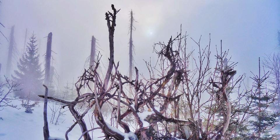 In den Hochlagen am Lusen (1373 m) quert man große Totholzflächen – Nebelfetzen unterstreichen den Wildnis-Charakter der Szenerie. Foto: Joachim Chwaszcza