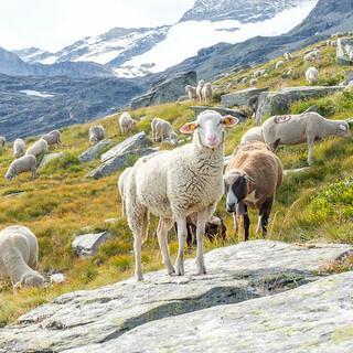Schafe trifft man öfter, wie hier am G5 – ihre Produkte auch, gerne auf den Hütten. Foto: Iris Kürschner