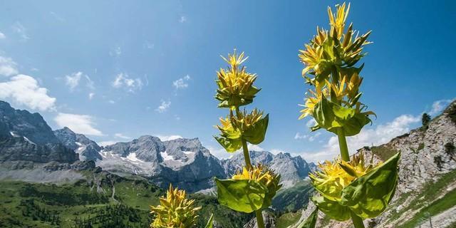 Nicht nur Felsen (hinten die Laliderer Gipfel) bietet das Karwendel, auch Blumen wie den Gelben Enzian. Foto: Heinz Zak