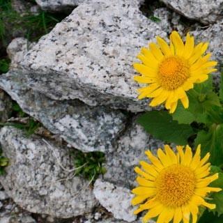 Gamswurz - Farbenpracht im Granit. Die Gamswurz ist nicht der einzige Farbtupfer im Gelände.