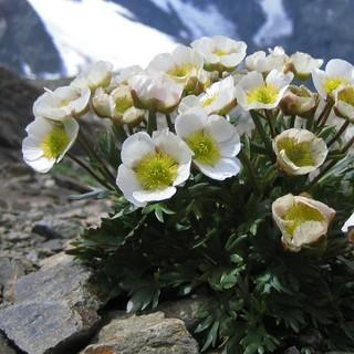 Der Gletscherhahnenfuß ist eine typische Pflanze in hochalpinen Regionen. Foto: SLF/Cajsa Nilsson