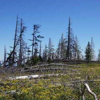 Windwurffläche im Hintergebirge - Auf dieser Windwurffläche im Hintergebirge kann die Wildnisentwicklung unabhängig vom Menschen stattfinden. Foto: Georg Hohenester