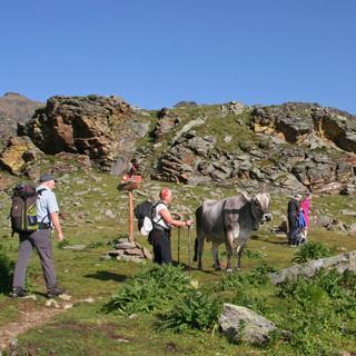 Kühe und Wanderer. Foto: Christine Frühholz