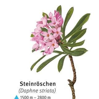 Steinröschen - © DAV
