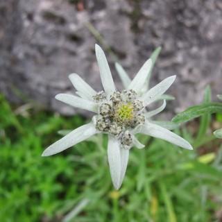 Das Edelweiß - die Alpenblume schlechthin. Foto: DAV/Archiv