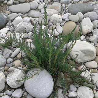 Die Deutsche Tamariske ist eine Pflanze, die sich in unwirtlichem Gelände, wie den offenen Kiesbänken der Alpen- und Voralpenflüsse, wohlfühlt. Foto: Fabian Unger