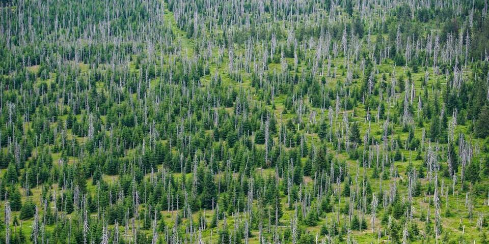 Windwürfe und Borkenkäferbefall waren Auslöser für die Regeneration des Waldes im Nationalpark. Foto: Joachim Chwaszcza