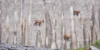 Steinböcke klettern gewandt in der Staumauer des Lago Barbellino herum, vom Mauer-Fuß bis unterhalb der Dammkrone. Foto: Joachim Chwaszcza