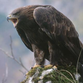Steinadler - Steinadler finden im waldreichen Hintergebirge einen gesicherten Lebensraum. Foto: NPK/Franz Sieghartsleitner
