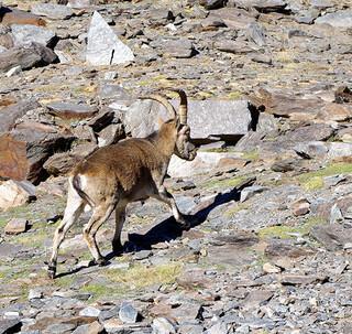 Auf Spanisch: Der Iberische Steinbock ist das südliche Pendant zum Alpentier. Foto: Josef Schlegel
