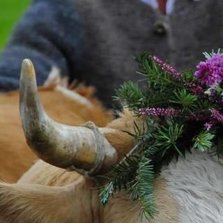 """Die """"Kranzkuh"""" trägt im Allgäu den geflochtenen Kopfschmuck, Foto: Oberstaufen Tourismus"""