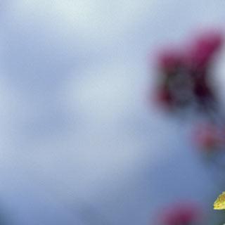 Enzian - Der punktierte Enzian fühlt sich auf silikatischen Böden wohl. Die Adamellogruppe bietet eine reiche, vielfältige Blumenpracht – vom südlichen Gebirgsblühen bis zur fast mediterranen Flora
