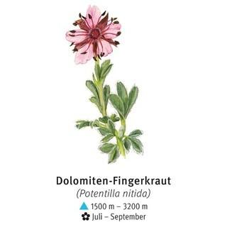 Dolomiten-Fingerkraut - © DAV