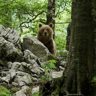 Auch Braunbären haben in der kurzen Sommersaison viel zu tun. Foto: Terra Mater Factual Studios/Wild Nature Film/Otmar Penker