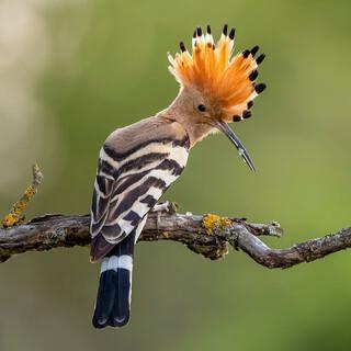 Der Wiedehopf ist einer der fünf zur Wahl stehenden Vögel. Foto: NABU/CEWE/Paul Gläser
