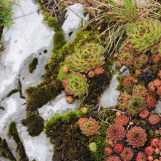 Wetterbeständige Wurze im Botanischen Garten von Zavižan. Foto: Silvia Schmid