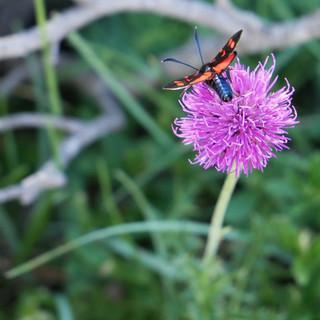 Falter-auf-Blume
